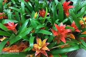 Bromeliads are pet friendly indoor house plants