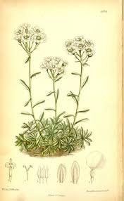 Achillea rupestris - Wikispecies