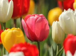 """Résultat de recherche d'images pour """"la tulipe"""""""
