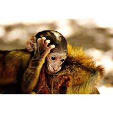 Laminated Poster Ape Endangered Species Baby Monkey Barbary Ape Poster Print 24 X 36