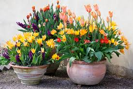how to plant bulbs in a pot rhs gardening