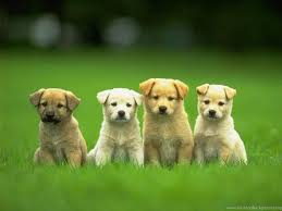 cute puppy wallpaper for computer. Delighful Computer Download Free Puppy Backgrounds For Computer The Quotes Land Desktop  Background On Cute Wallpaper B