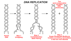 Dna Replication Process Hseb Notes Of Botany Class 12 Biology