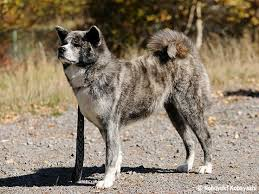 「秋田犬」の画像検索結果