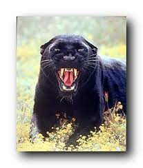 wildlife animal wall decor art print picture snarling black panther leopard poster 16x20 on black panther animal wall art with amazon wildlife animal wall decor art print picture snarling