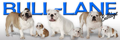 images for pictures of english bulldogs for