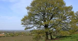 oak tree article types woods