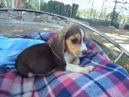 puppy 3 beagle puppy for in fresno ca usa