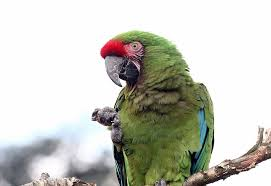 Parrot Diet Chart Parrot Diet And Nutrition Basics