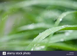 grass blade close up. Drops On Grass Blades Close Up Background Blade E