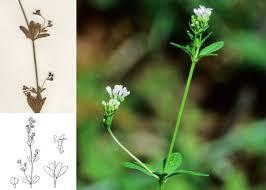 Asperula laevigata L. - Portale della Flora di Roma