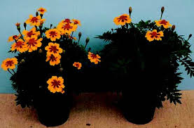 photoperiod and bedding plants