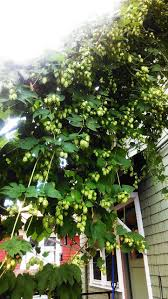 Hops For Decoration 17 Best Images About Growing Hops On Pinterest Grow Your Own