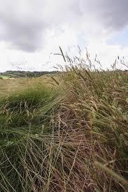 Phleum bertolonii – Smaller Cat's-tail (w) | Wild Grasses | Species ...