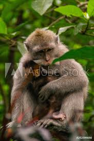 Poster Animal Wildlife Concept View Of The Adult Macaque