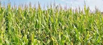 Resultado de imagen para maíz pisingallo