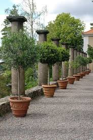 potted trees tuscan garden patio trees