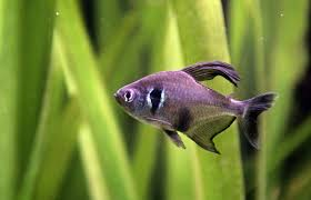 Small Picture Black phantom tetra Wikipedia