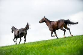 horses galloping in a field. Exellent Galloping Horses Galloping In A Field Stock Photo  33642448 On Galloping In A Field
