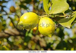 lemon tree x: lemons citrus x limon hanging from a lemon tree la nucia alicante