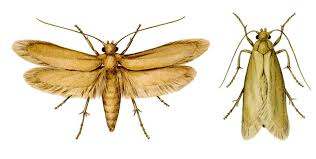 Small Moths In Bedroom Identifying And Controlling Clothes Moths Carpet Beetles And