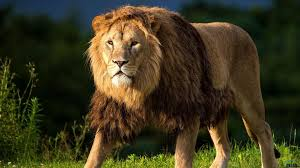 Lion Wallpapers For Laptop, PC, and ...