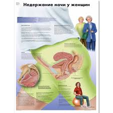Female Organ Chart Female Urinary Incontinence Chart