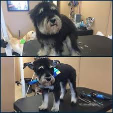 before and after fur ever loved pet salon