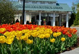 when you visit the cincinnati zoo botanical garden during april brightly colored tulips are the first thing you see when you walk through the gates