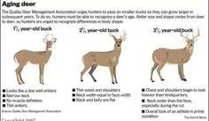 Whitetail Deer Size Chart Jay Howell Gavsdad224 On Pinterest