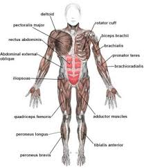 It also applies to fossils to help identify and define the species. Biology For Kids Muscular System
