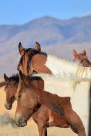 wild paint horses rearing. Contemporary Horses Band Or Herd Of Wild Paint And Pinto Mustang Horses In The Sierra Nevadas Throughout Wild Horses Rearing P