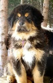 Tibetan Mastiff Growth Rates Tibetan Mastiff Info Com