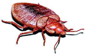 bed bug ilration