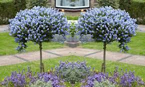 lilac tree california lilac