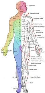Umbilicus Spinal Level Get Rid Of Wiring Diagram Problem