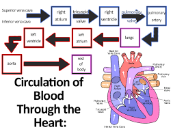 Heart Flow Chart File Circulation Of Blood Through The Heart Jpg Wikimedia