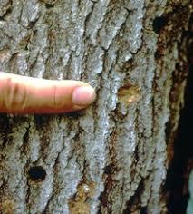 Asian Long Horned Beetle Wikipedia