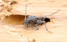 Les termites, les insectes à larves xylophages (vrillettes, capricornes, lyctus…) sont les ennemis redoutés du bois. Traitement Du Bois Et Maconnerie Merule Insectes Xylophages Awesse