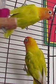 Fischers Mutations Albino Lutino Yellow White Parrot