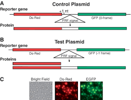 dual fluorescence reporter system a through control plasmid  dual fluorescence reporter system a through control plasmid contains ds