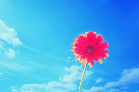 Wallpaper flower Pexels Pinkgerberaflowerwallpaper Designmaz 50 Beautiful Free Hd Flower Wallpapers Designmaz