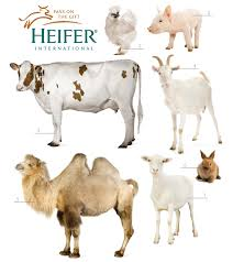 give the gift of rabbits heifer international