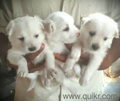 cute pomaraian puppies for