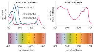 Action Spectrum Photosynthetic Pigments Biology A Level Revision
