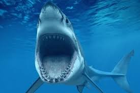 pictures of great white sharks eating people. Plain Great Animals Great White Sharks Eat  Intended Pictures Of Eating People E