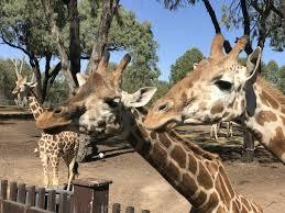 Tarogona Western Plains zoo Dubbo will ...