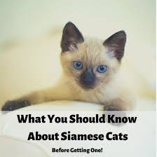 Siamese Kitten Growth Chart Siamese Cats What You Should Know Before Getting One