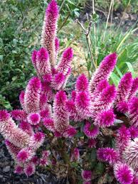plume sb celosia plumosa your flower is an annual known as plume sb