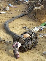 king cobra snake eating. Exellent Snake A King Cobra The Worlds Longest Venomous Snake Has Attempted To Catch  Kill And Eat This Reticulated Python Grows Be The Snake In World  On Snake Eating N